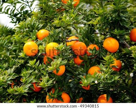 myrtle-leaved orange