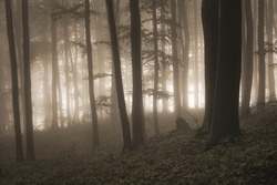 mysterious forest with fog and light in the background