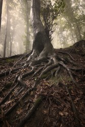 Mysterious roots of a tree in a forest with fog