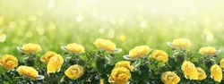 Mysterious spring or summer bright background with blooming fantasy yellow roses flowers blossom and glowing sparkle bokeh