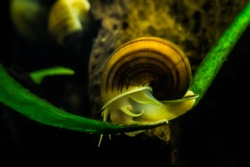 Mystery Snail crawling across his tight rope inside an aquarium