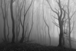 mystic fog forest in black and white as haunted woods concept