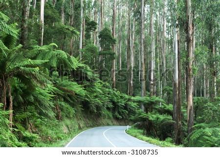 Mystic Mountains, Victoria, Australia ~ with lush tree ferns and towering mountain ash eucalyptus trees.