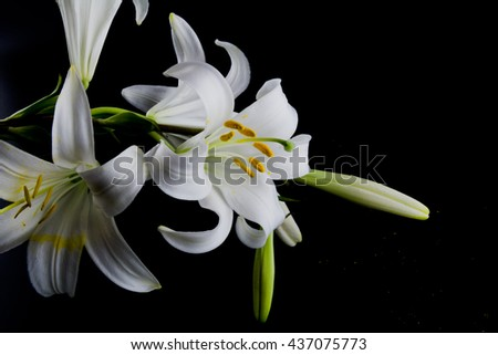 Mystic style - Flowers and buds of lilies on a black background closeup