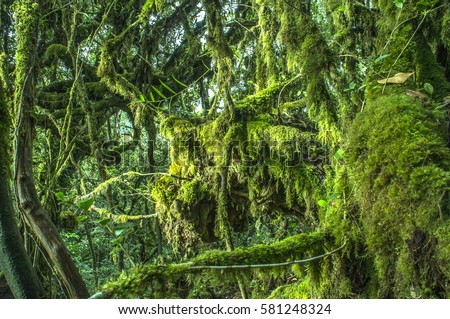 Mystical and beautiful famous green Mossy Forest in Cameron Highland