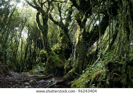 Mystical and beautiful famous green Mossy Forest in Cameron Highland in its original ambient lighting.