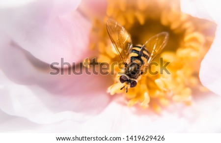 Mystical dreamy picture of a hoverfly pollinating a rose. Yellow pistils of a pink rose.