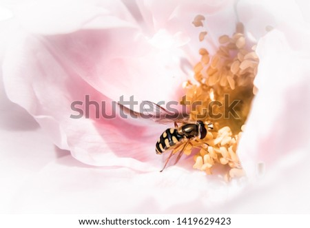 Mystical dreamy picture of a hoverfly pollinating / nectaring a rose. Yellow pistils of a pink rose.