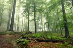Mystical foggy forest on the slope