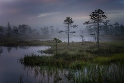 Mystical swamp with pine trees with a reflection in the water on a foggy morning.