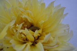 Mythimna separate, the Northern armyworm, oriental armyworm or rice ear-cutting caterpillar, is a moth of the family Noctuidae. Arthropoda  Lepidoptera India spring summer season. Yellow dahlia flower
