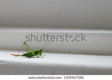 n Grasshopper on white window sill Foto stock ©