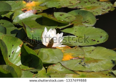 Un Bloomed Lotus Flower Images And Stock Photos Avopixcom