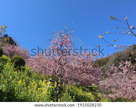 n the winter of February, rape blossoms, plum blossoms, and cherry blossoms in full bloom under the blue sky show a beautiful view.  Foto stock ©