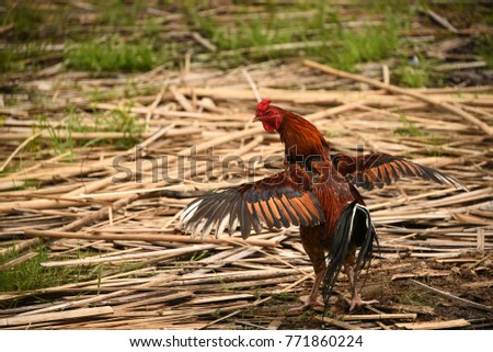 naïve vietnam chicken or poultry or avian both female and male on rural place #771860224