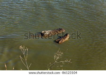 Nage et parade nuptiale de 2 crocodiles du Nil, l'un sur l'autre, à Madagascar