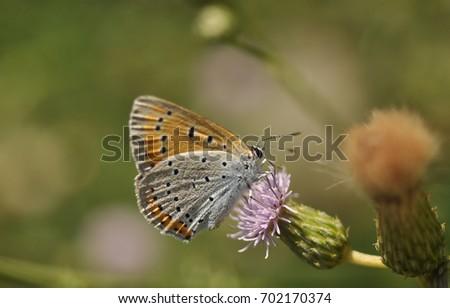 Nagy t?zlepke (large copper (Lycaena dispar) Stock fotó ©
