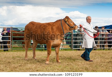 NAIRN, SCOTLAND - JULY 28: An unidentified farmer displays his cow at the annual Nairnshire Farmers Society show on JULY 28, 2012 in Nairn, Scotland.