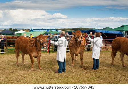 NAIRN, SCOTLAND - JULY 28: Unidentified farmers display their prize winning cattle at the annual Nairnshire Farmers Society show on JULY 28, 2012 in Nairn, Scotland.
