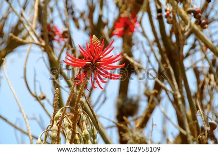 Naked Coral Tree (Erythrina coralloides, Flame Coral Tree) is a species of flowering tree in the pea family, Fabaceae, that ranges from Arizona in the United States south to Oaxaca in Mexico