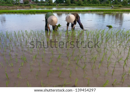 NAMDINH, VIETNAM - JULY 19: Unidentified farmers rice planting on small field at July 19, 2008 in Namdinh, Vietnam. This work is part of the rice farmers of Vietnam.