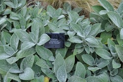 Named variety of grey furry leaved stachys plant better known as lambs tail.