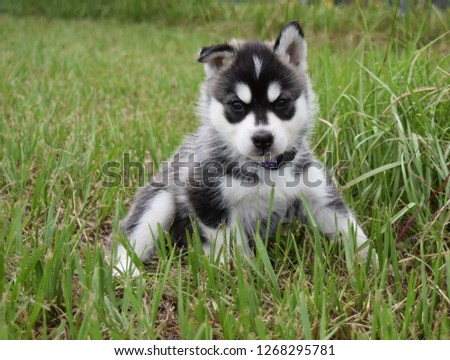 Nami the husky puppy, posing for pictures.
