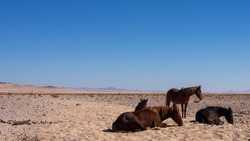 Namib Desert horse is a feral horse found in the Namib Desert of Namibia