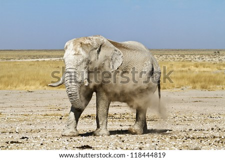 Namibian elephant dusts himself after he has taken a mud bath - stock photo