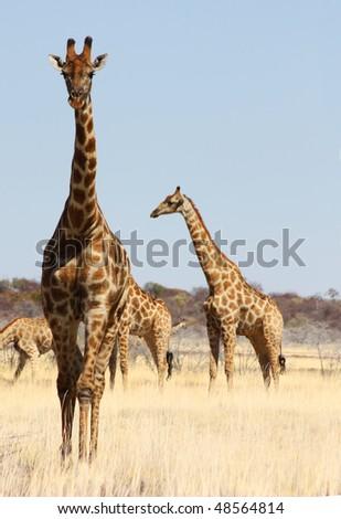 Namibian wild life, Etosha park, dry season