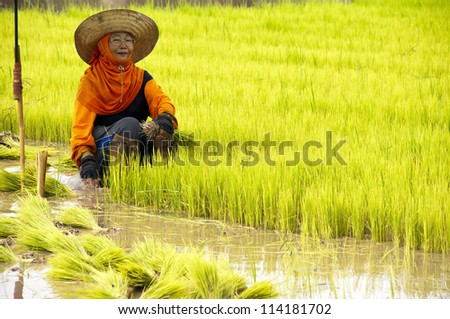 NAN, THAILAND - JULY 15: Unidentified Thai farmer works hard on rice field on July 15, 2012 in Nan Province, Thailand. For many farmers rice is the main source of income (around $800 annual)