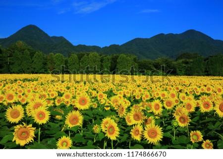 Nanchang Mountain and sunflower field #1174866670