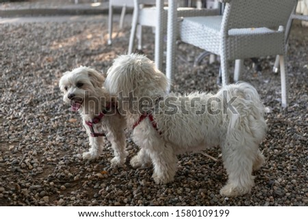 Nanja, Bichon Bolognese doggie (right), and Maltese dog Baky playing at the coffee shop terrace