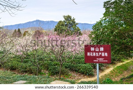 Nanjing, China - March 4, 2015: Yuhua tea and Plum Blossom in early spring. Text on the board translated into Engligh is Zhongshan Yuhua tea production base. Located in Plum Blossom Hill of Nanjing.