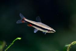Nannostomus beckfordi - Golden pencilfish
