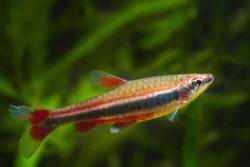Nannostomus beckfordi red, Brazilian ornamental freshwater juvenile pencilfish side view, nature biotope aquarium, aquatic fauna