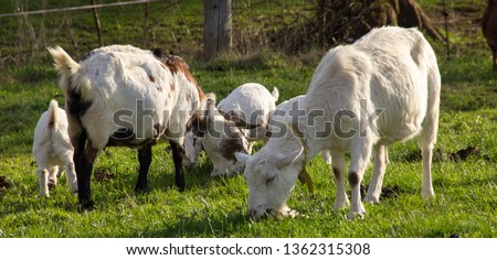 nanny goat with baby goat on a green meadow in spring outdoors (animal background) #1362315308