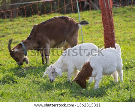 nanny goat with baby goat on a green meadow in spring outdoors (animal background) #1362315311