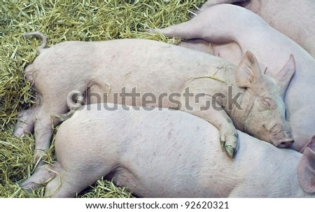 nap of the pigs babes