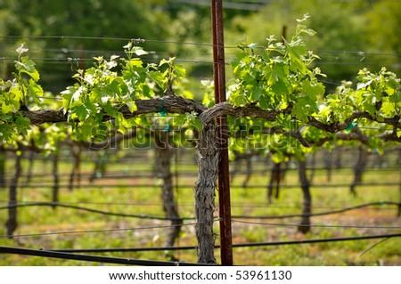 Napa Valley Green Grape Vine closeup in Spring