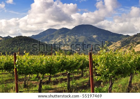 Napa Valley vineyard in the spring