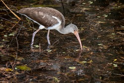 Naples, Florida. Corkscrew Swamp Sanctuary. Immature White Ibis, Eudocimus albus feeding in the swamp.