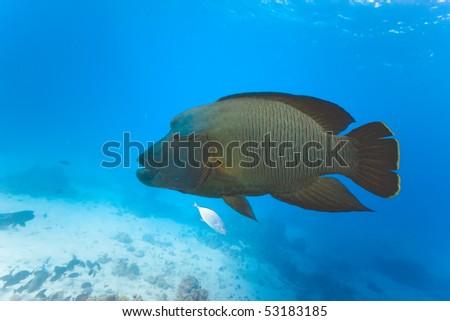 Napoleon fish - stock photo