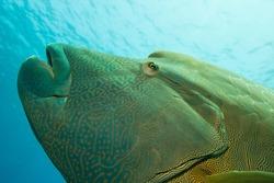 Napoleon Fish in the Ocean
