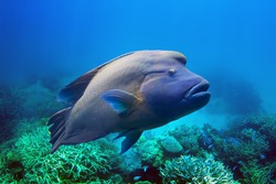 Napoleon Fish swimming at the Great Barrier Reef