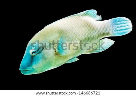 Napoleon Wrasse fish isolated on Black