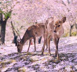Nara's Deer in Ethereal Pink Cherry Blossom Scene, Japan