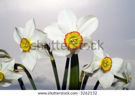 narcissus against stormy sky