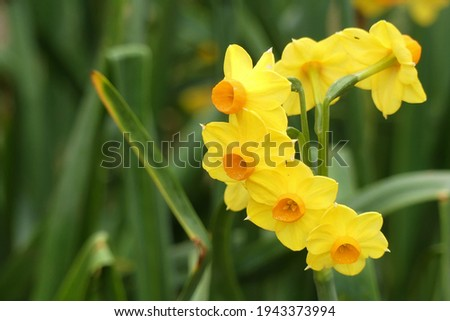 Narcissus (Amaryllidaceae) 'Grand soleil d'or' variety. It has branches with several small yellow flower with orange coronas. Photo stock ©