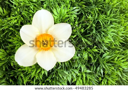 narcissus blossom in plastic green bush background